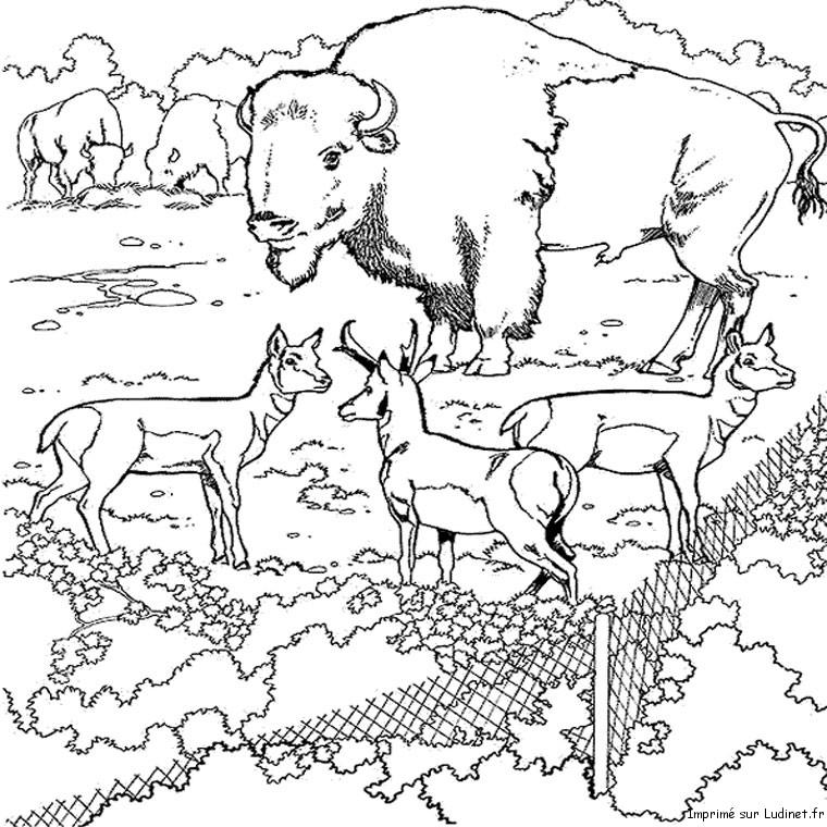 Bison europe - Bison coloriage ...