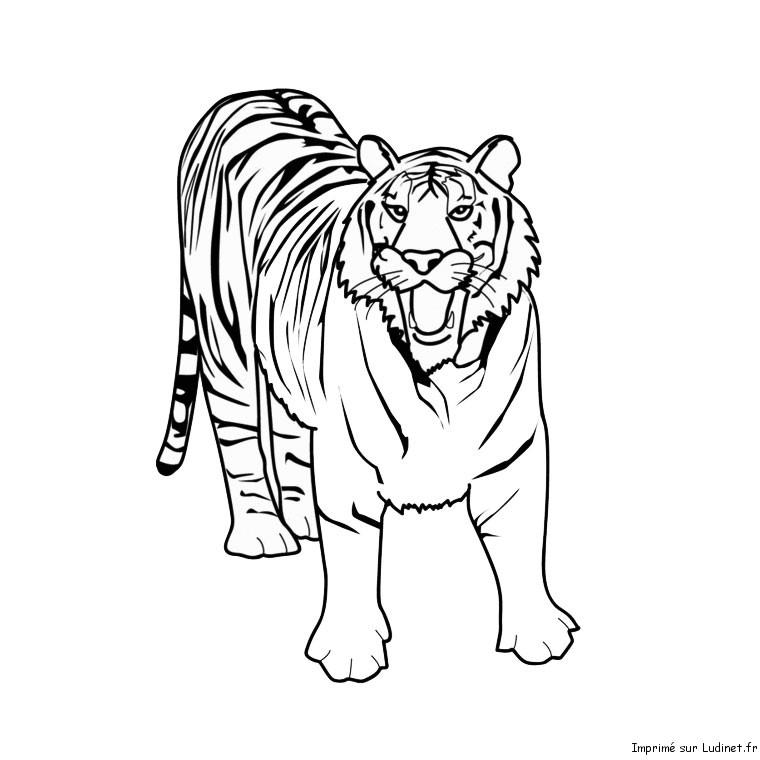 Tigre blanc - Dessin de tigre facile ...